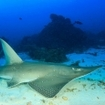 A shovelnose ray in the Similan Islands