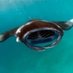 Diving in the Northern Atolls is good for manta ray sightings