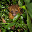 Visit the Kinkajou in the Belize jungle