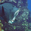 Bumphead parrotfish live at Tulamben Wall, Bali