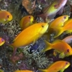 Golden anthias in the Maldives