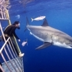 Thrilling Guadalupe Island cage diving