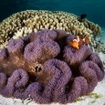 False clownfish inside a purple anemone