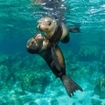 Juvenile sea lions at play in the Sea of Cortez, Mexico