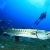 Sphyraena barracuda with scuba divers in Thailand
