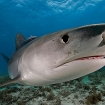 A tiger shark, a little too close for comfort