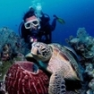 A green turtle on the reef at Sipadan attracts the attention of a diver