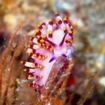 A nudibranch in the Red Sea