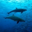 Bottlenose dolphins feeding at Cocos Island