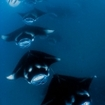 Manta rays at Baa Atoll, Maldives