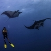 A scuba diver watches manta rays in Mexico