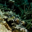 Tentacled flathead, camouflaged on a coral reef, Wakatobi