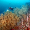 Diving through a black coral forest