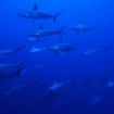 Hammerhead sharks at Rasdhoo Atoll, Maldives