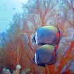 Redtail butterflyfish and gorgonian fan, Surin Islands
