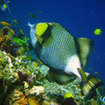 Meet the aggressive titan triggerfish in the Racha Islands