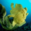 A camouflaged giant frogfish