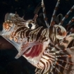 A lionfish at Elphinstone, Red Sea