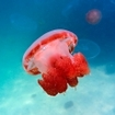 Red jellyfish, Kakaban, near Sangalaki, Indonesia