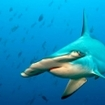 A hammerhead shark in the Sea of Cortez