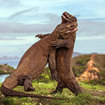 Komodo dragons fighting at Rinca Island