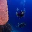 Divers pass gorgonian fans at Richelieu Rock