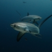 Fox sharks at Monad Shoal