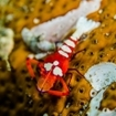 Emperor shrimps can be found in Flores
