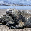 Marine iguanas in the Galapagos Islands, Ecuador