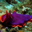A purple flatworm from RakiRaki in Fiji