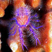 Hairy squat lobster in Kapalai, Borneo