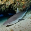 A resting silvertip shark in the Far Northern Atolls