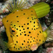 A spotted boxfish hides at the Great Barrier Reef, Australia