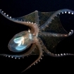 Deepwater octopus found in the Pacific depths