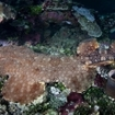 Tasseled wobbegong camouflages itself in Raja Ampat, Indonesia. The ambush predator
