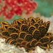 A spectacular many-petalled nudibranch (Cyerce nigricans) in Kadavu, Fiji