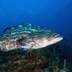One of Cuba's several species of large groupers