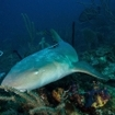 A tawny nurse shark at the Gardens of the Queen, Cuba