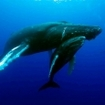 Humpback whales of Socorro, West Pacific