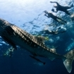 Whale sharks visit southern Thailand's Hin Daeng