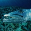 Close-up of a great barracuda - a common species in Komodo, Indonesia
