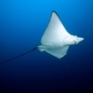 An eagle ray at Noonu Atoll