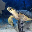 Sea turtles are often seen on Cuba's reefs
