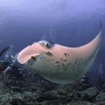 Divers watch a manta ray at a cleaning station