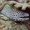 Honeycomb moray eels are resident at the Bunsoong Wreck
