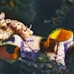 A nudibranch crawls over a sea squirt