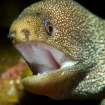 Whitemouthed moray eel