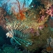 An Indian Ocean lionfish, Koh Dor