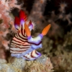 There are many nudibranchs in the Persian Sea