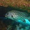 An Andaman sweetlips at the Similans